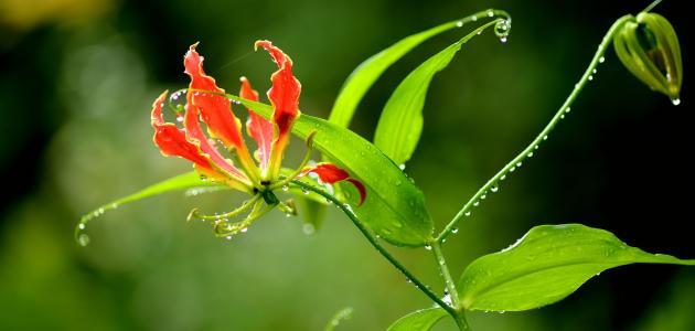 معلومات عامة عن زهرة Gloriosa