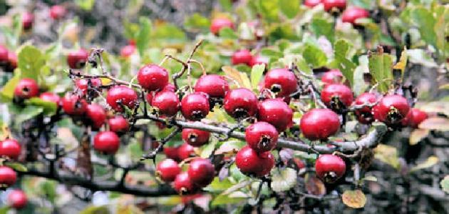 أبرز استخدامات نبات العوسج