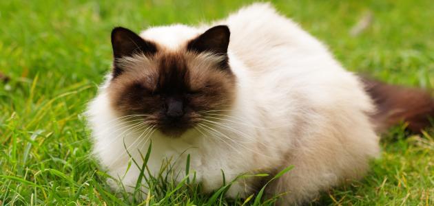 معلومات عن قطط هملايا