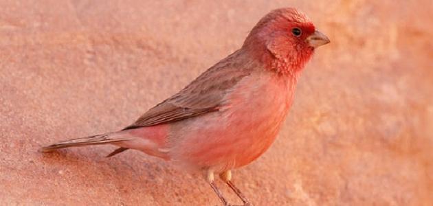 معلومات عن الطائر الوردي