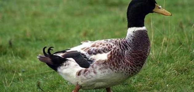 معلومات عن البط