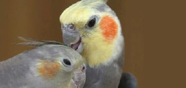 الفرق بين ذكر وأنثى طائر الكوكتيل