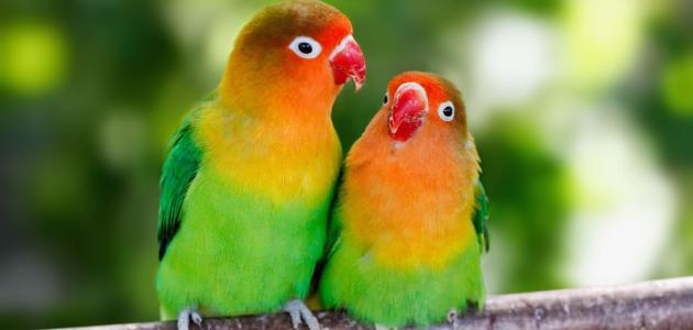 الفرق بين ذكر وأنثى طيور الحب