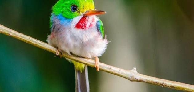 معلومات عن الطائر الطنان