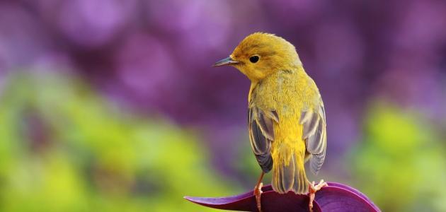 معلومات عن طائر الشحرور