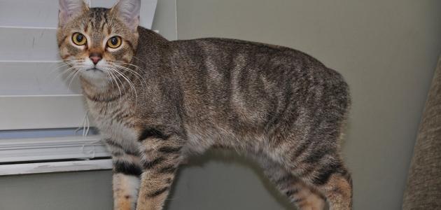 معلومات عن القط مانكس