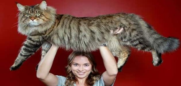 معلومات عن القط ماين كون