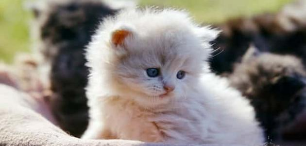 أمراض القطط الشيرازي