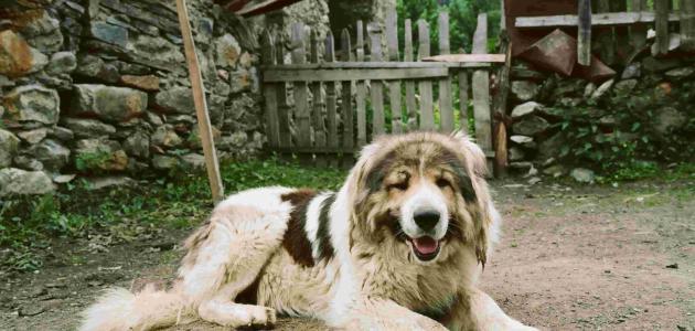 معلومات عن الكلب القوقازي