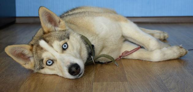 طريقة تمييز كلاب الهاسكي الأصلية