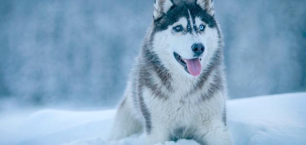 معلومات عن تربية كلاب الهاسكي
