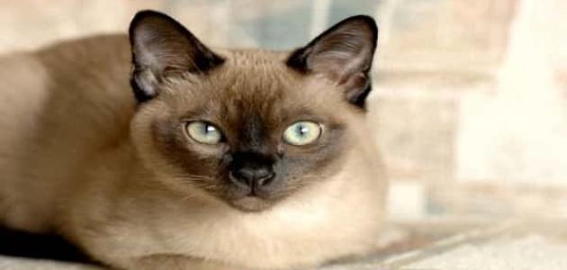 معلومات عن قط تونكينيز