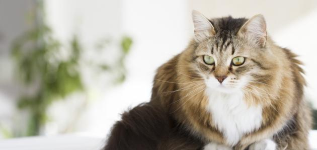 معلومات عن القط السيبيري