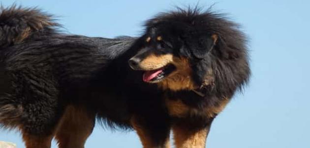 معلومات عن كلب الماستيف التيبتي