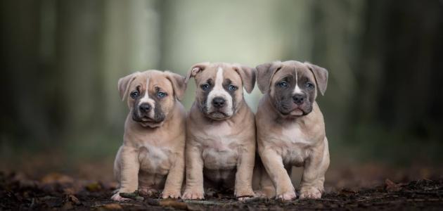 لي سلامة الإملاء كلاب بيتبول صغار Psidiagnosticins Com