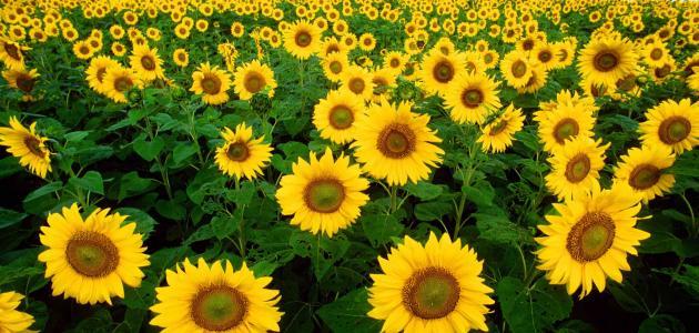 طريقة زراعة عباد الشمس سطور