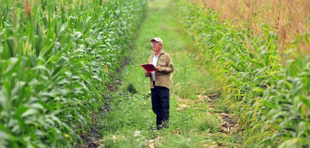 كيفية زراعة الذرة
