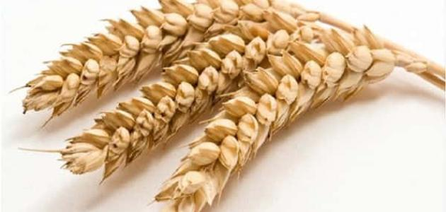 ما هو جلوتين القمح