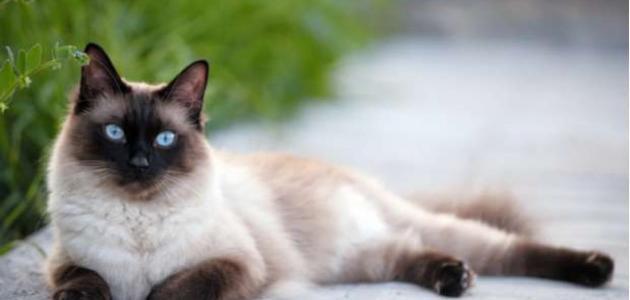 معلومات عن القط السيامي