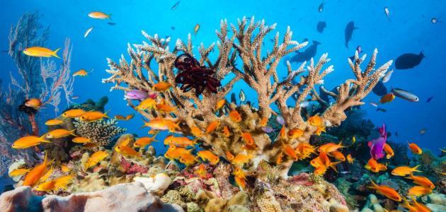 معلومات عن الشعاب المرجانية