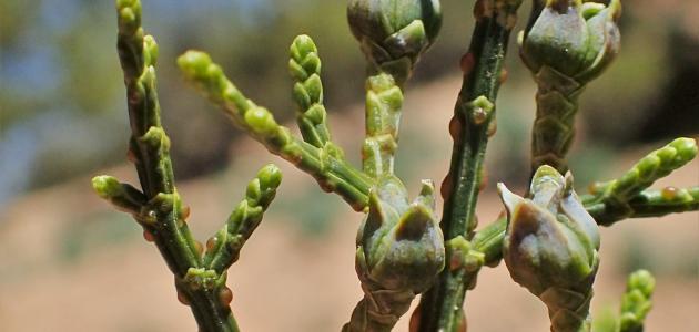 معلومات عن نبات السندروس