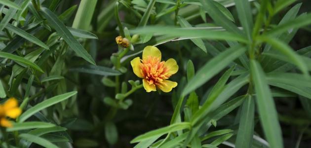 معلومات عن نبتة الطرخون