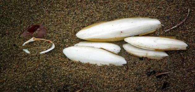 فوائد لسان البحر للتنحيف