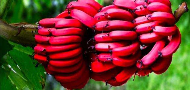 معلومات عن الموز الأحمر