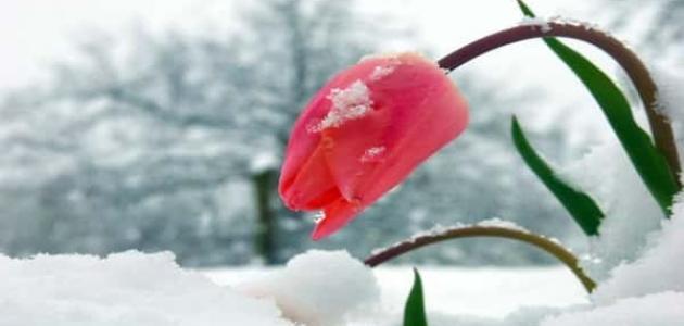 أنواع ورود الشتاء