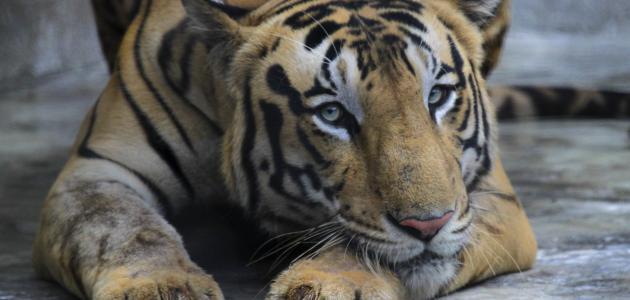 ما هي أنواع النمور