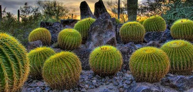 أهم أنواع النباتات الصحراوية