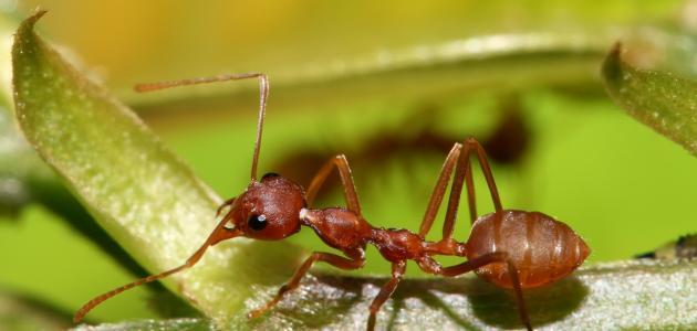 معلومات عن النمل الأحمر
