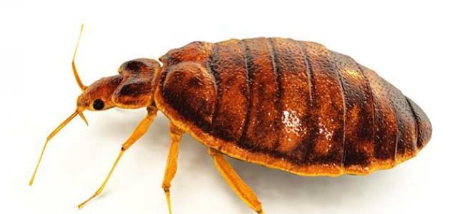 معلومات عن حشرة البق