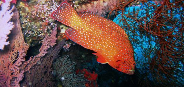 أنواع سمك الهامور
