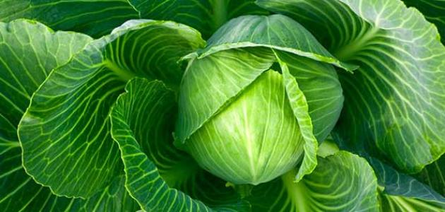 فوائد الملفوف الأخضر