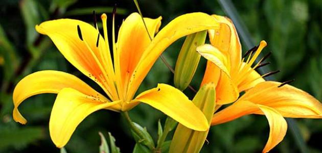 معنى زهرة الزنبق