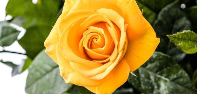 ماذا تعني الوردة الصفراء سطور