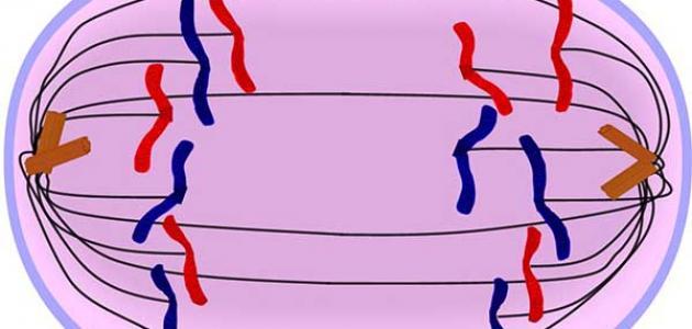 كيفية انقسام الخلية النباتية