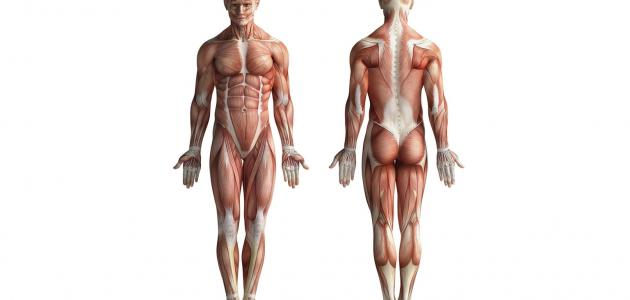 كيفية انقباض وانبساط العضلات