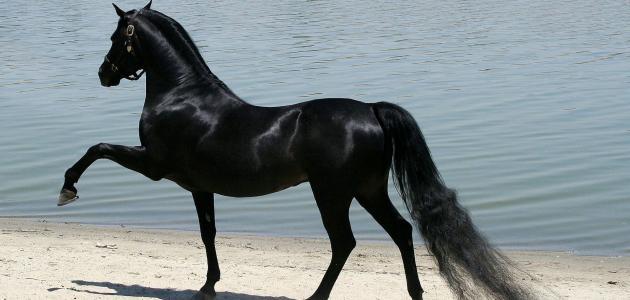 معلومات عن الحصان العربي الأصيل