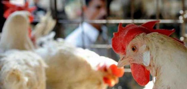 إنفلونزا الطيور ومدى خطورته على الإنسان