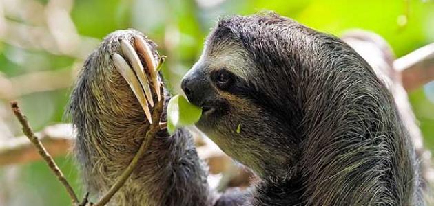 معلومات عن القرد الكسلان