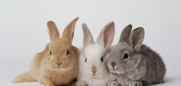 كيفية تكاثر الأرانب