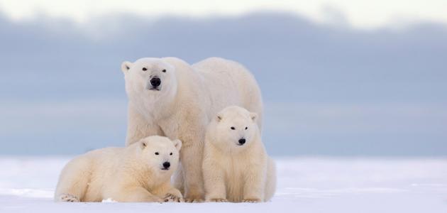 معلومات عن تكيف الدب القطبي في الجليد