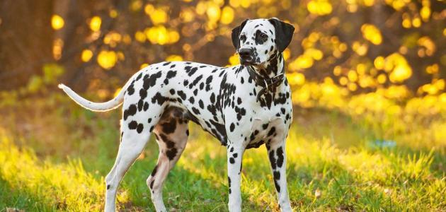 معلومات عن الكلاب المنقطة