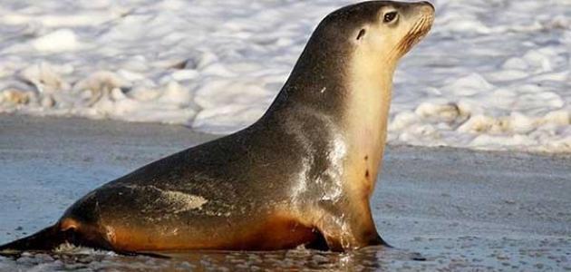 معلومات عن أسد البحر