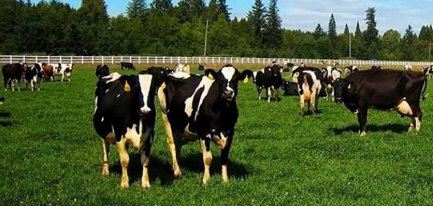 شروط بناء مزارع الأبقار
