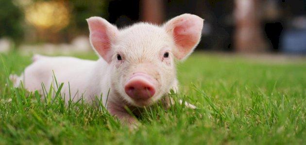 لماذا حرم الله أكل لحم الخنزير