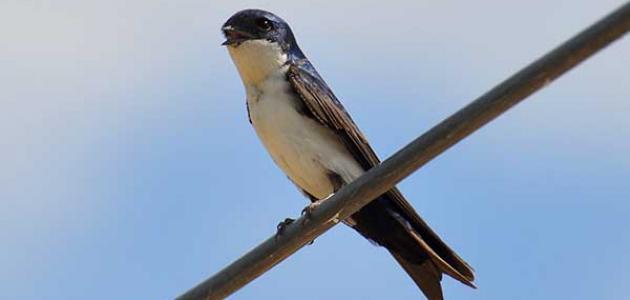 معلومات عن طيور السنونو السوداء