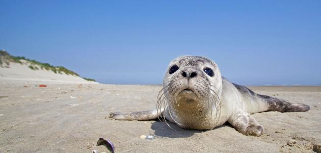 معلومات عن عجل البحر